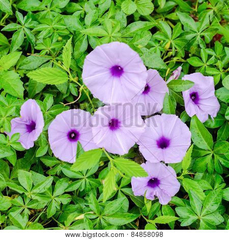 Purple Glory Flowers With Droplet On A Green Leaves Background