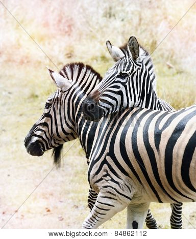 Two  Zebras Close Up In The African Savanna.
