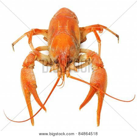 Boiled Lobster Isolated On A White Background