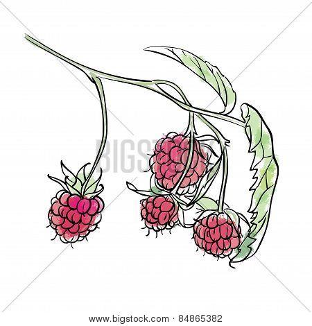 Hand drawn raspberry illustration.