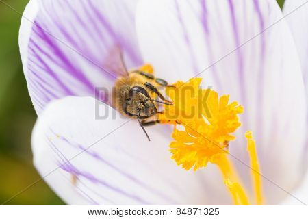 Bee On A White Purple Striped Crocus