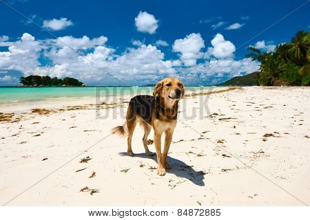 Dog at beach. Seychelles, Praslin, Cote d'Or