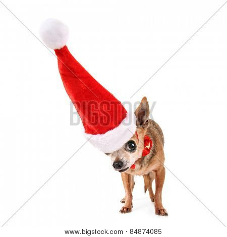 a chihuahua with a red santa hat on