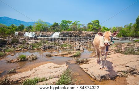 cow and waterfall in Laos