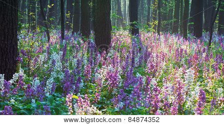 Beautiful spring forest. Blooming flowers primroses