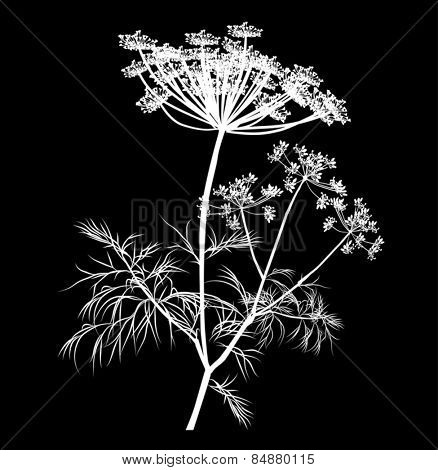 illustration with white dill blossom isolated on black background
