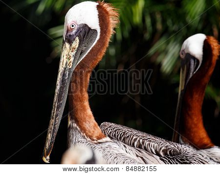 Portrait Of Brown Pelican