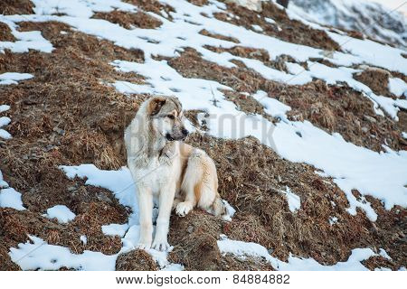Surefire Svan dog in the mountains of Caucasus