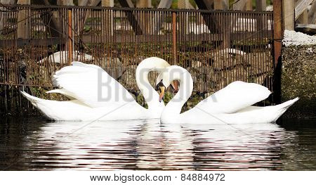 pair of swans in the water