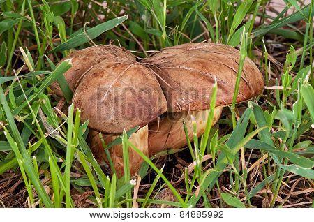 Boletus Edulis. Mushroom In The Green Grass