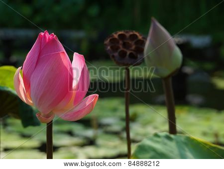 Blooming pink lotus
