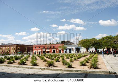 OAXACA, OAXACA, MEXICO- MARCH 21, 2013: Maguey garden in a sunny day at Santo Domingo, Oaxaca, Mexico