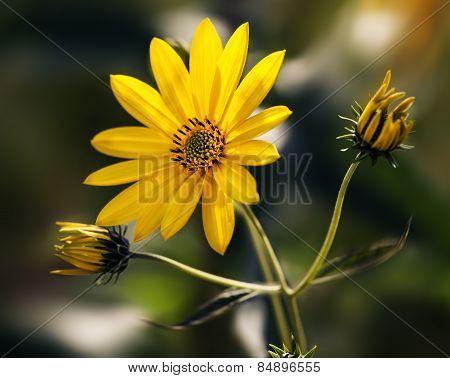 Topinambur Flowers