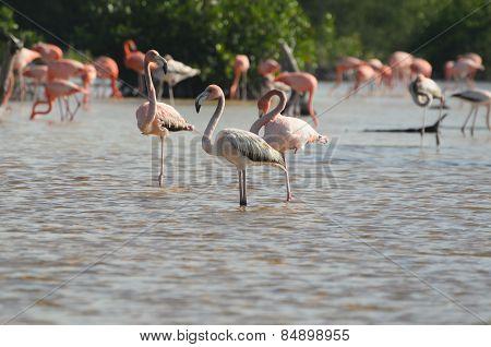 Pink Flamingoes In Their Natural Habitat