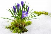 Постер, плакат: spring crocuses in melting snow