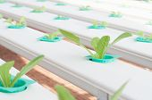 pic of hydroponics  - Hydroponics green vegetable growing in the nursery - JPG