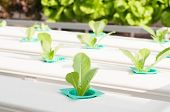 picture of hydroponics  - Hydroponics green  vegetable growing in the nursery - JPG