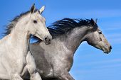 image of galloping horse  - Two white horse run gallop against blue sky - JPG