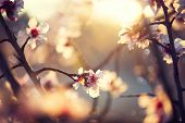stock photo of apricot  - Spring blossom background - JPG