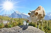 stock photo of cow  - Cows and milk - JPG