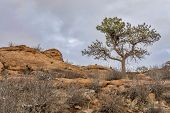 image of collins  - pine tree with magpie nest  on sandstone cliff - JPG