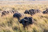 picture of cape buffalo  - African Buffalos at game reserve in Botswana - JPG