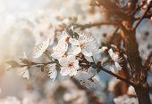 pic of tree-flower  - Springtime - JPG