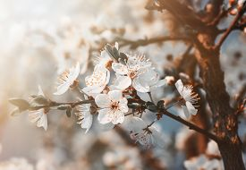 picture of orchard  - Springtime - JPG
