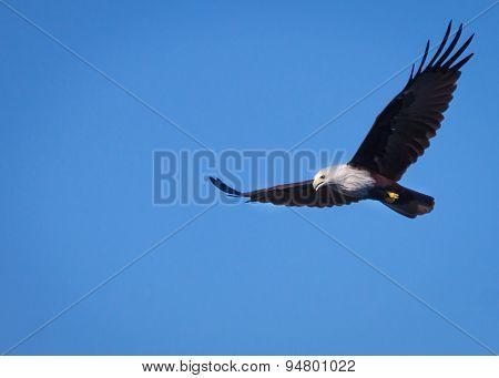 Bald Eagle In Flight Against Blue Sky.