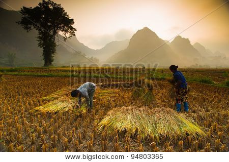Unidentified farmers work in rice field on October 5, 2014 in Caobang, Vietnam
