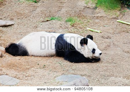 Panda taking a nap