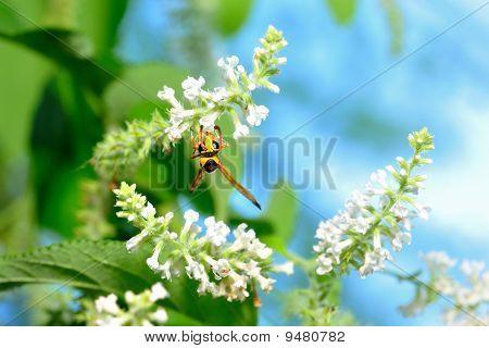 Wasp Feeding Nectar