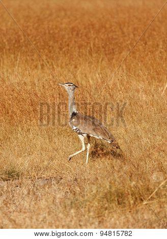 Kori Bustard, Masai Mara