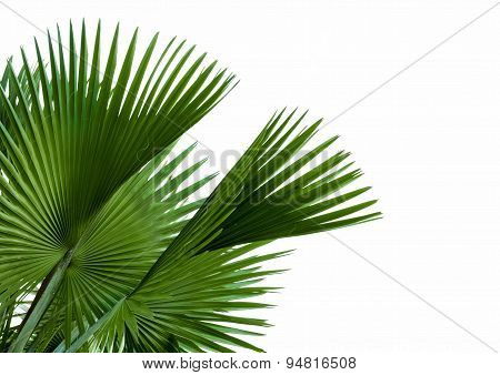 Green Palm Leaf Isolated On White Background, Clipping Path Included