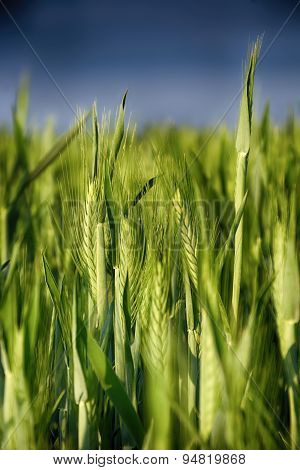 Ears of wheat. Background of fresh spring Green yellow wheat field ears close up with shallow depth