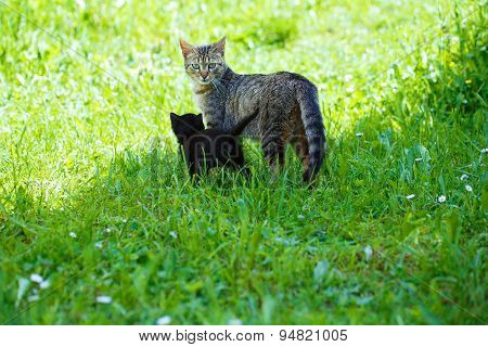 Cat And Kitten On Green  Meadow