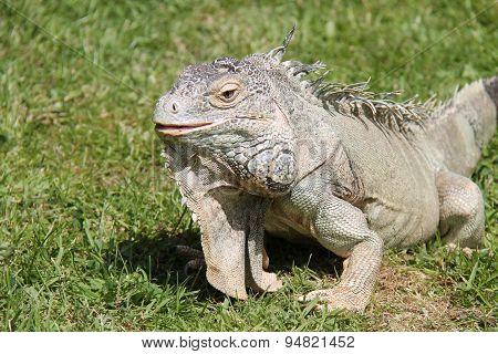 Iguana Reptile.