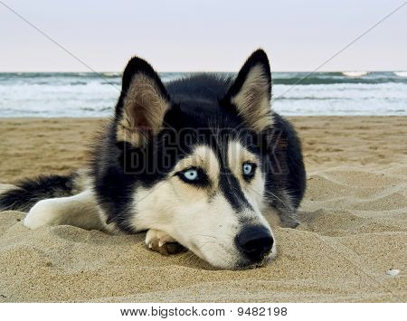 Siberian Husky On The Beach
