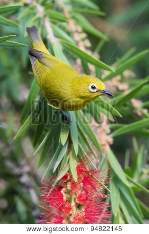African Yellow White-eye (zosterops Senegalensis) In Bottlebrush Tree