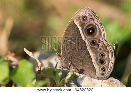 Common Bush Brown Butterfly (bicyclus Safitza) Wet Season Form
