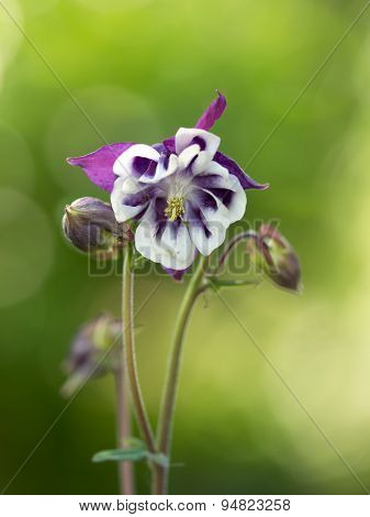 Aquilegia vulgaris (Common columbine) on green background
