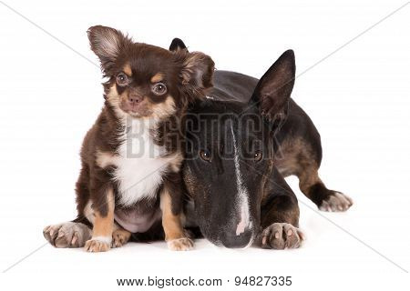 adorable chocolate chihuahua puppy