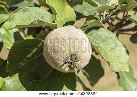 Unripe Quince On The Tree