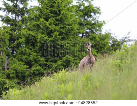 Chamois On The Lawn In The European Mountains In Summer