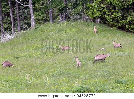 Bunch Of Chamois With Puppies On The Lawn Of The Mountain In Summer