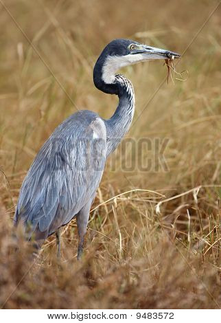 A Beautiful Grey Heron