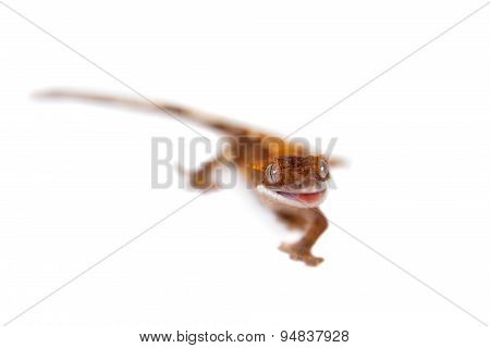 New Caledonian crested gecko on white