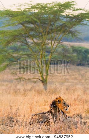 Male Lion In Amboseli