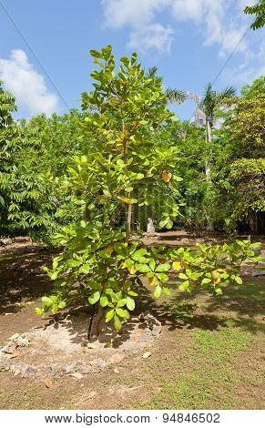 Cashew Tree In Qe Ii Botanic Park On Grand Cayman Island