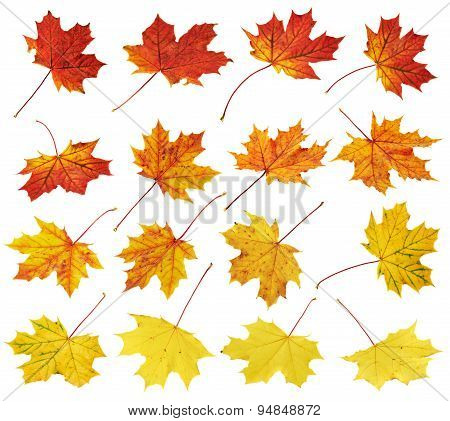 Autumn maple-leaf set isolated